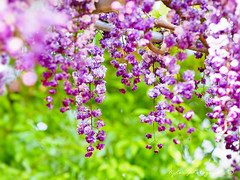 () Tags: flower macro japan spring purple bokeh sigma olympus apo  f28 omd em1   wistaria    m43 150mm  sigma150mmmacro  sigma150mmf28   150mmf28 sigmamacro150mmf28 micro43 microfourthirds sigmaapomacro150mmf28 olympusem1