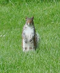 Wotchu lookin' at? (Kay Bea Chisholm) Tags: field grass grey football squirrel centralpark wallasey foraging