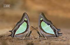 Twins (Antonio Giudici Butterfly Trips) Tags: thailand butterflies lepidoptera chiangmai chiangdao nymphalidae charaxinae polyuraarjaarja