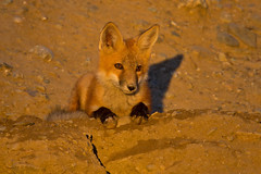 Red Fox (wlb393) Tags: livermore redfox robertsonpark s8h1596