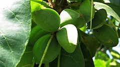 talisay (indian almond) (DOLCEVITALUX) Tags: flowers plants flower fauna flora indian philippines almond medicinal talisay