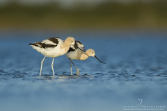 Double Trouble (santosh_shanmuga) Tags: blue wild bird nature water animal outdoors island nc nikon couple outdoor wildlife duo north birding northcarolina aves double trouble national american carolina dare elegant pea 500mm hunt obx refuge forage nwr shorebird avocet d3s
