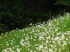 IMG_5786 (germancute) Tags: wood green nature leaves forest blossom outdoor meadow wiese bloom grn blume wildflower wald bltter