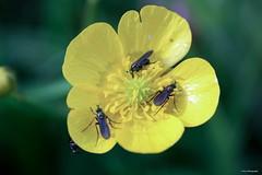 La ronde !! (*PYROS*) Tags: macro fleur 85 printemps insectes flore vende boutondor macrophotographie floraison