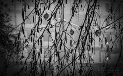 Tears of Autumn. Sadly and Quietly. (Lihoman...) Tags: street old city urban blackandwhite bw white house plant abstract black building tree texture blanco monochrome sepia blackwhite noir dof bokeh branches negro birch boke weiss bianco blanc nero schwarz фотография белая чернобелая чернобелое фото фотки фотографии blackwhitephotos белые городской черно depthoffiled белое уличная боке чернобелые нереальный размытый грип чорно нерезкий lihoman