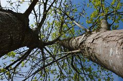 Twin Trees (stefanielaiminger) Tags: trees twin weitwinkel spring frhling esche ahorn acer