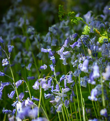 Blue Bells (William MacGregor) Tags: blue wild plant flower color colour colors field bluebells forest canon garden landscape woods colours bell outdoor ngc depthoffield 5d dslr vignetting bluebell vignette damncool 50d yourbestoftoday macgregorwilliam
