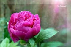 ....per fare tutto, ci vuole un fiore  (lefotodiannae) Tags: macro colore dal natura mio fiore giardino lefotodiannae