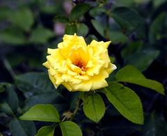 _DSC0019e ~ Yellow Rose (BDC Photography) Tags: pipecreek texas usa knockoutrose nikon nikond200 nikondslrcamera nikonafnikkor180mmf28difedlens bwfpro72mmuvhaze1xfilter