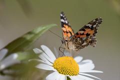Distelfalter (bohnengarten) Tags: vanessa butterfly insect eos schweiz switzerland swiss insekt schmetterling thurgau cardui distelfalter 80d