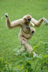 Walk like a gibbon (citizen for boysenberry jam) Tags: wild animals zoo texas waco waza gibbon aza cameronparkzoo whitehandedgibbon