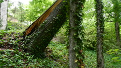 DSCN1428 (VerlynC) Tags: tree falling hickory