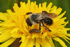Andrena vaga female collecting pollen on Taraxacum officinale (henk.wallays) Tags: