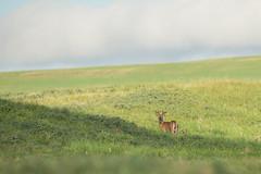 Whitetail (Light & Shadows ( Extremely busy )) Tags: nikon wildlife buck whitetail d4 nikond4 wildbuck nikon400mmf28 400mmf28gedvr