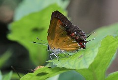 Liuzhou/ - Heliophorus sp. 1282 (Petr Novk ()) Tags: china nature animal butterfly insect asia wildlife lepidoptera asie   guangxi liuzhou   lycaenidae hmyz    heliophorus motl  na