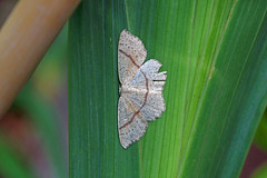 Maiden's Blush, Shipham, Somerset, England (Terathopius) Tags: uk greatbritain unitedkingdom somerset gb geometridae sterrhinae shipham cyclophorapunctaria