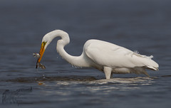Great Egret 5_27 Two-fer (krisinct- Thanks for 12 Million views!) Tags: canon 500 f4 80d