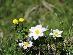 DSCN0352 (keepps) Tags: mountains alps flower schweiz switzerland suisse wildflower vaud rochersdenaye
