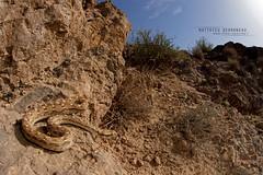 Echis carinatus & habitat (MP7Aquit) Tags: iran trip 2016 sony alpha macro nature france herpto wildlife animal animaux ff 24x36 full frame a7ii 7ii 7mk2 sonyilce7m2 herping herpeto reptile reptilian reptilia serpent serpente snake serpentes snakes serpiente vipera field herp sonya7ii sonya7mk2 sonyalpha7mark2 sonyalpha7ii sigmaobjectiffisheyedg15mmf28 sigma15mmf28exdgdiagonalfisheye sonylaea4 laea4 sigma fisheye 15 28 ex dg habitat milieu mountain montagne vipre echis carinatus echiscarinatus indian sawscaled viper indiansawscaledviper chide carne chidecarne