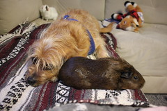 The Piggies Love Him (ScarletPeaches) Tags: dog pets cavy mutt furry cookie critter guineapigs canine napoleon rodents schnoodle furbay princessprissypant