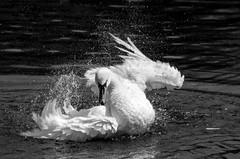 Thrash (elizunseelie) Tags: park summer white lake black bird nature water monochrome birds scotland droplets drops swan wings pond day power natural pentax action glasgow wildlife scottish victoria sparkle grooming swans ripples splash flap k5 violent lightroom thrashing snapseed