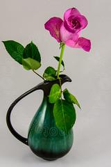 Rose in vase (CAscotPhotography) Tags: cascotphotography closeup studio stilllife art nature flower flowers rose pink nikon d7100