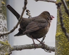 Don't Sing With Your Mouth Full (Steve Taylor (Photography)) Tags: city newzealand christchurch food cloud tree bird female spring branch canterbury bark nz gathering southisland lichen cbd worms blackbird