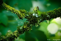Natur / Nature (R.O. - Fotografie) Tags: macro green nature up closeup lumix ast close bokeh natur panasonic mosquito nrw lichen grn makro fz 1000 moos dmc mcke baumflechte neuenheerse fz1000 dmcfz1000