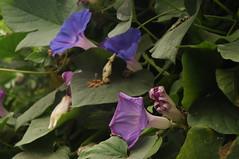 Ipomoea indica im Schmetterlingshaus in Trassenheide; Usedom (529) (Chironius) Tags: usedom mecklenburgvorpommern meklemburgiapomorze uznam deutschland germany allemagne alemania germania    ogie pomie niemcy pomienie blte blossom flower fleur flor fiore blten    blau asterids campanuliids solanales nachtschattenartige convovulvaceae windengewchse ipomoea prunkwinde