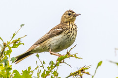 Tree Pipit (andymulhearn) Tags: canon rspb inversnaid flickrbirds eos7d2 sigma150600mmc