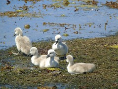 Cygnets (stuartcroy) Tags: orkney island cygnet scotland water weather white waves wild sea sony still swan beautiful blue bird bay beach brown