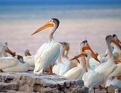 Pelican Portrait (imageClear) Tags: color nature beauty birds wisconsin bill aperture nikon flickr bright pelican boulder sheboygan photostream northpoint 80400mm shorebird americanwhitepelican d7000 imageclear