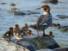 Keeping a close watch on her young ones (KaarinaT) Tags: sea rock finland helsinki baltic waterfowl gulfoffinland vuosaari uutela goosander suomenlahti watchingover isokoskelo momwithbabies keepingawatch femalegoosanderwithbabies