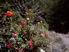 Roses behind the tea house (EllenJo) Tags: pentax cottonwoodarizona 2016 june19 jailtrail 86326 ellenjo ellenjoroberts pentaxqs1