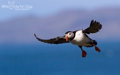 Atlantic Puffin - 6th May 2016 (TopBeater) Tags: puffin birdsinflight puffins atlantic lunga treshnish mull scotland scottishhighlands