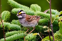 White-throated Sparrow, Witless Bay Line (frank.king2014) Tags: ca canada whitethroatedsparrow baybulls newfoundlandandlabrador
