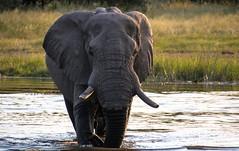 Elephant Enjoying The Water (Barbara Evans 7) Tags: from elephant water community barbara area botswana emerging khwai evans7