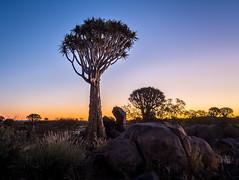 Quiver tree (loveexploring) Tags: africa aloedichotoma namibia quivertreeforest aloe boulder dusk endemicplant endemism kookerboom landscape plant quivertree rareplant succulentplant threatenedspecies tree treealoe