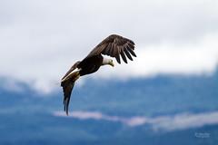 IMG_4095 (mechlerphotography) Tags: bald eagles comox
