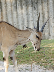 Common Eland (Johnnie Shene Photography(Thanks, 1Million+ Views)) Tags: wild macro nature animal vertical canon lens wonder photography interesting branch natural zoom outdoor head wildlife watching sigma tranquility ground nopeople korea apo depthoffield dining awe sideview 70300mm bovinae halflength eland freshness dg oryx  lunching behaviour fragility f456 taurotragus colourimage commoneland foregroundfocus eos600d rebelt3i kissx5