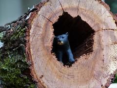 Bear cave (alansurfin) Tags: bear wood miniature log cave