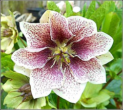 Helleborus orientalis .. (** Janets Photos **) Tags: uk flowers plants flora hellebore closeups