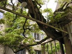 Giant wisteria (glycine) in Vzelay (toucanne) Tags: gate vine shutters grille wisteria volets climbingplant glycine plantegrimpante