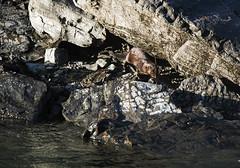 mink at Cowichan River (mysticislandphoto) Tags: wildlife vancouver island mink cowichan river