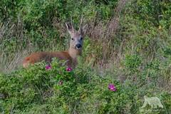 Roe Deer (fascinationwildlife) Tags: morning wild nature animal germany mammal deutschland coast wildlife natur north deer buck nordsee roe reh nordfriesland rehbock