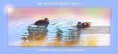 Fine Art Prints Ducks DSC_1313 (fatima_suljagic) Tags: photographer melbourne nikond800 nature naturephotographer landscapes landscapephotography australia fineartprints fineartphotography fatimasuljagicmelbourne artstudiomaja artstudiomajacomau