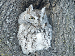 eastern screech owl (gray morph) (quadceratops) Tags: massachusetts nature cambridge eastern screech owl gray morph fresh pond 2015best inexplore