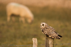 Shortie and the Sheep - short-eared owl (asio flammeus) (PeterBrooksPhotography) Tags: uk winter wild sun bird sunrise fence sussex morninglight eyes sheep post wildlife raptor owl stare perched marsh habitat eastsussex asioflammeus shortearedasioflammeus