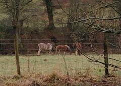 Clydesdales Milheugh Blantyre (James B Brown) Tags: horses clydesdale clydesdales lanarkshire blantyre clydesdalehorses malcolmwoodfarm blantyreboardingkennels malcolmwood