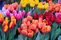 Tulip karpet (fragment)-Holland 2015 Koukenhof (photonicpainter) Tags: auto flower holland netherlands carpet fuji tulip fujifilm 12 55 nederlands niederlande keukenhof 2015 xm1 revuenon